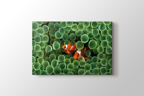 Picture of Clown Fishes