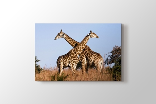 Picture of Giraffe Ithala