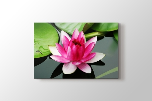 Picture of Nymphaea