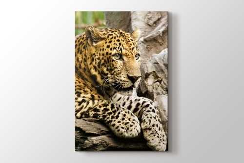 Picture of Panthera Pardus