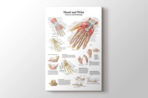 Picture of Hand and Wrist Chart Anatomy and Pathology