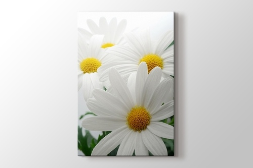 Picture of Daisies