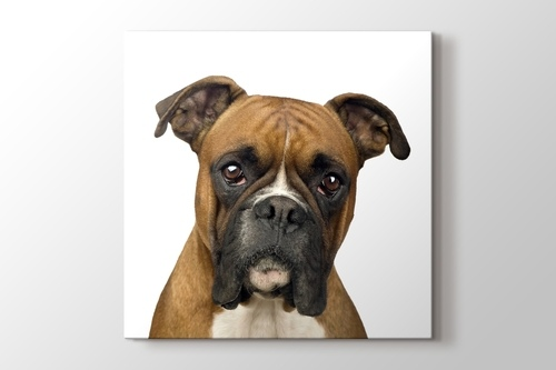 Picture of Boxer