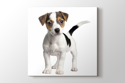 Picture of Jack Russell