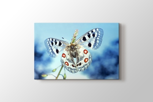 Picture of Ice Blue Butterfly