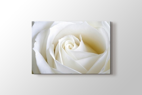 Picture of White Rose Close Up