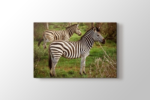 Picture of Zebras