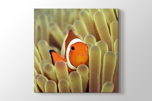 Picture of Clownfish over Sponges
