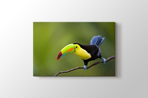 Picture of Keel Billed Toucan Central America