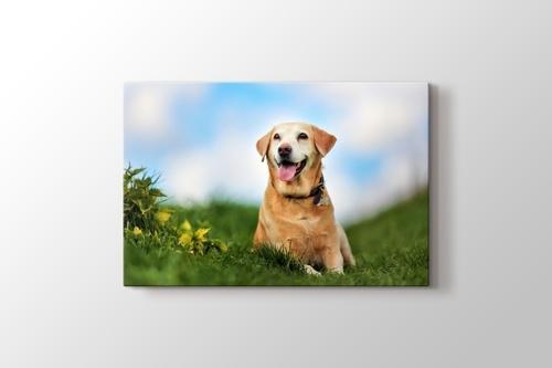 Picture of Labrador