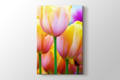 Picture of Colored Tulips