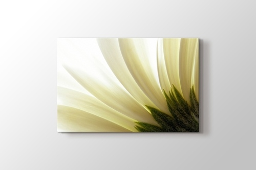 Picture of White Daisy Close Up