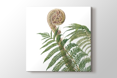 Picture of Cyathea Australis