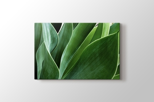 Picture of Succulent Leaves