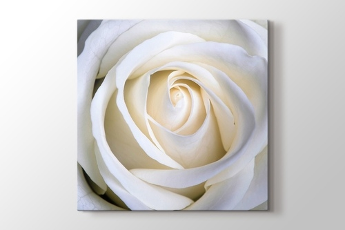 Picture of White Rose