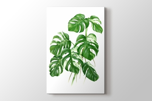Picture of Variegated Cheese Plant - Monstera