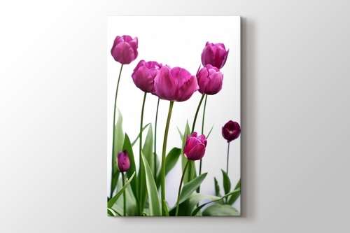 Picture of Pink Tulip