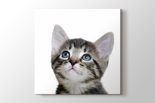 Picture of Blue Eyed Tabby Cat