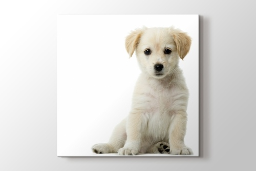 Picture of Puppy Dog - Golden Retriever