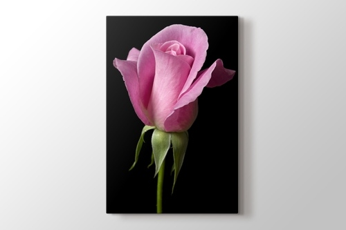 Picture of Pink Rose